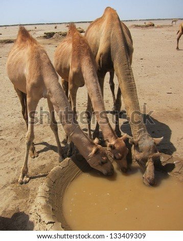 In the desert of Ethiopia three camels drink from a water well while resting from their caravan