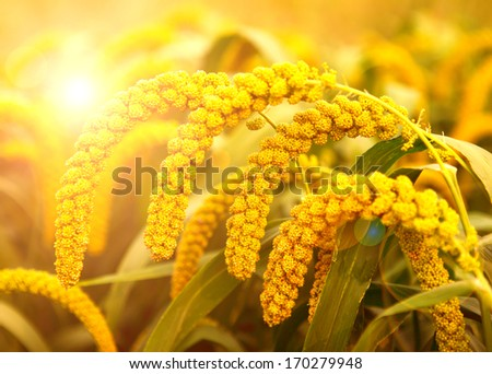In the early autumn season. Maturing millet