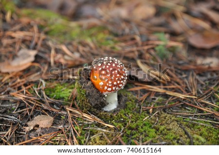 In the forest among the moss grows red fly agaric.