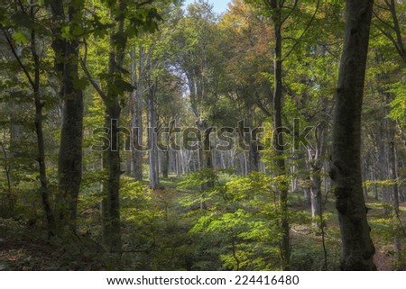 in the forest of beech tree - stock photo
