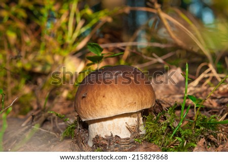 In the forest the boletus grew. Boletus edulis in the forest