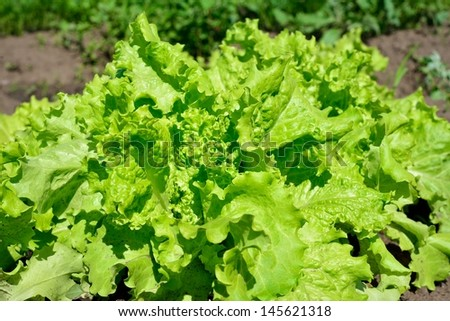 In the garden Salad leaves - stock photo