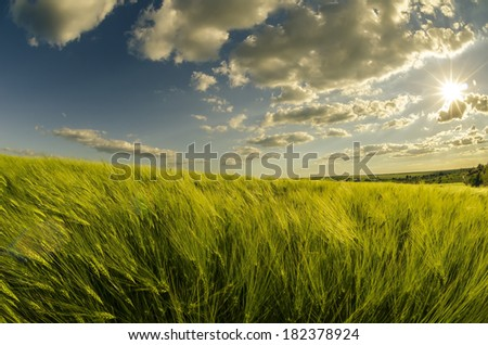 In the grain field