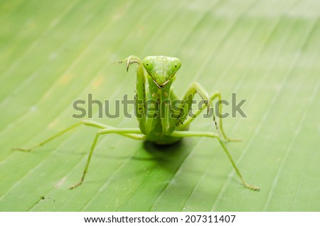 In the green leaves of the praying mantis.
