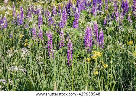 In the meadow of various wildflowers in bloom: lupine, Daisy, variety of grass, illuminated by the morning sun. - stock photo
