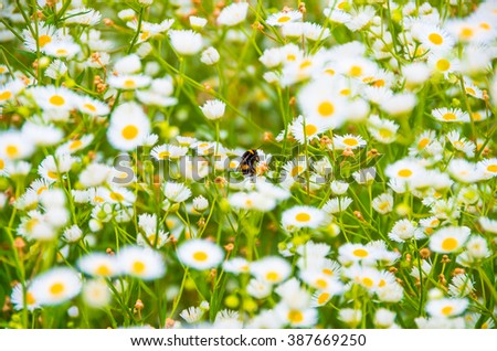 In the morning bumblebee gathers pollen on a daisy field - stock photo