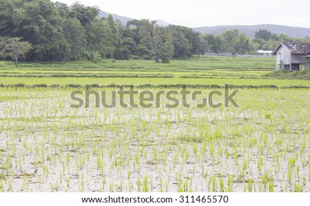 in the morning,cornfield - stock photo