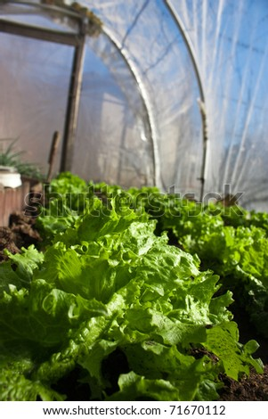 In the real greeenhouse. Lettuce in front. Artistic selective focus. - stock photo
