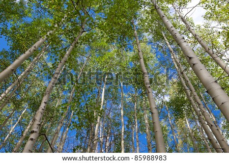 In the shade of a forest on a sunny day, looking up at the canopy of a stand an aspen into a blue sky. - stock photo