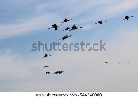in the sky a great flock of cranes flies over Israel