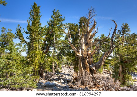In the Snake Range at an elevation of 9,500 to 11,000 feet, ancient bristlecone pines grow slowly in the Great Basin National Park in Nevada. Many of the bristlecone pines are 3000 to 5000 years old.