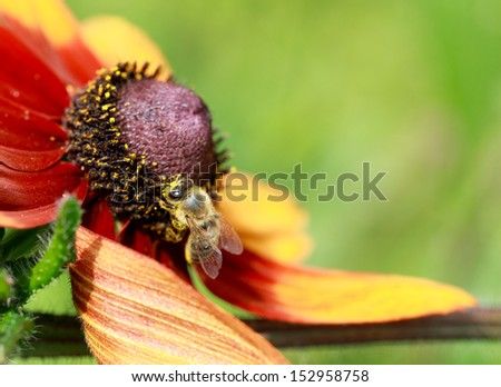 In the summer time a honey bee collecting nectar on a yellow rudbeckia or Black Eyed Susan flower, macro, copyspace - stock photo