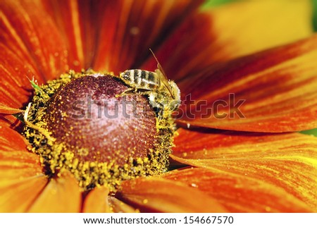 In the summer time a honey bee collecting nectar on a yellow rudbeckia or Black Eyed Susan flower - stock photo