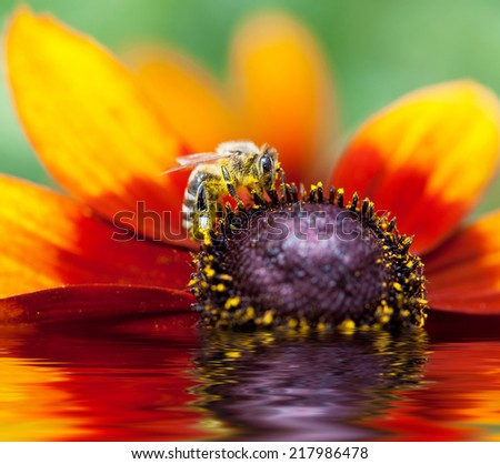 In the summer time a honey bee collecting nectar on a yellow rudbeckia or Black Eyed Susan flower, macro. Photo improved by water with reflection  - stock photo
