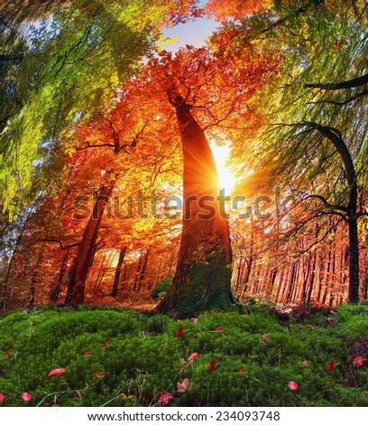 In the Transcarpathian Ukraine Carpathian mountains on the background autumn beech forests Chornogory fantastically beautiful - magical scenic wild color beech forests pleases and inspires  - stock photo