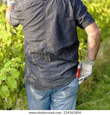 in the Vineyard - stock photo
