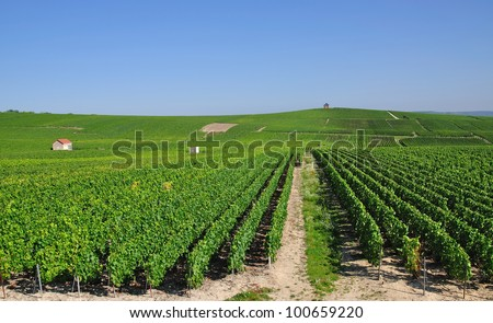 in the Vineyards of the french Champagne Region,France