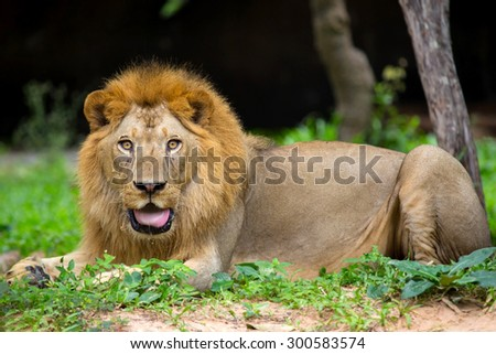 In the wild, lions feeding on the mountain. - stock photo