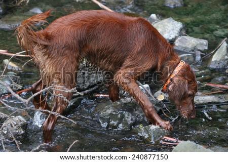 Inca Red Irish Setter - stock photo