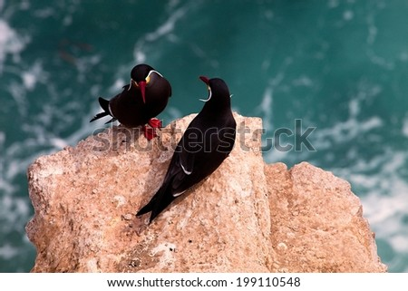 Inca Tern couple on the rocks - Peru - stock photo