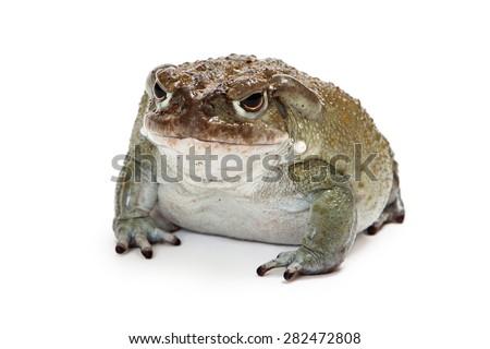 Incilius alvarius, also known as Colorado River Toad or Sonoran Desert Toad which has a venom that produces a a psychoactive hallucinogenic effect. - stock photo