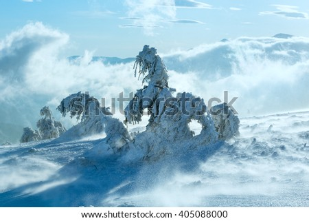 Inclined icy snowy fir trees on winter morning hill in windy cloudy sunny weather. - stock photo