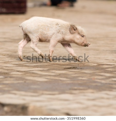 incredible india - cute little pig in the city streets - stock photo