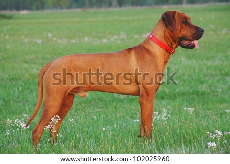 Incredible Rhodesian coat of unparalleled standing on the spring meadow.