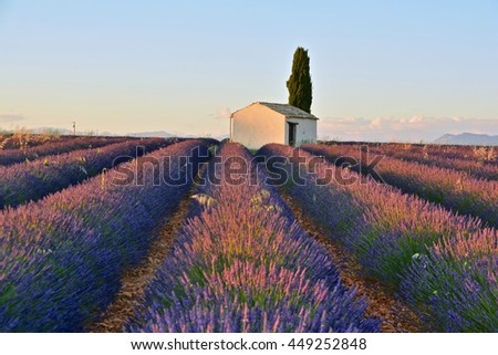 incredible sunset on the colorful and fragrant lavender fields in Provence in southern France in the Alps of the French Riviera