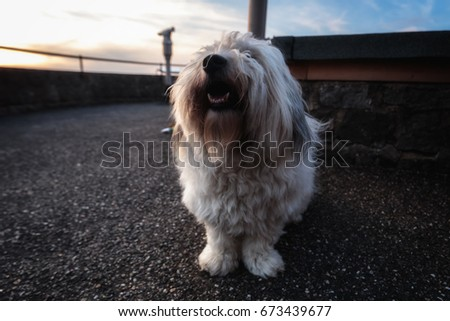Incredibly Cute and Happy White Fluffy Cotton de Tulear Pure Breed Dog on a walk in the Countryside at Sunset, Positive Emotions