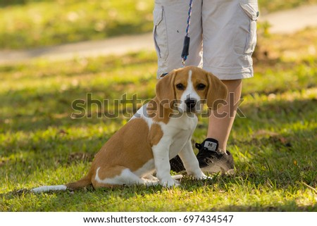 Indaiatuba, August 16, 2017 a beagle puppy sitting on a swamp of an unidentified park with legs of unidentified people behind him on a sunny day.