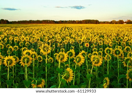 Independent Sunflower - stock photo
