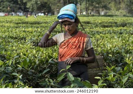 INDIA, ASSAM - NOVEMBER, 2014: Indian female tea picker carrying traditional tea basket on her head plucks tea leaves on tea plantations in Assam - stock photo