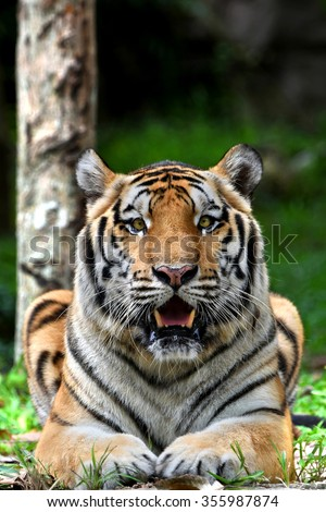 India Bengal Tiger focus at face and eyes  - stock photo