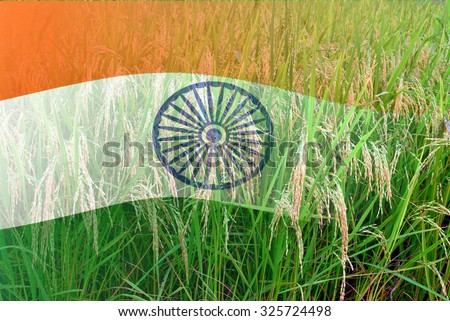 India flag merged with paddy in full bloom, double exposure shot, concept of earning money from agriculture - stock photo
