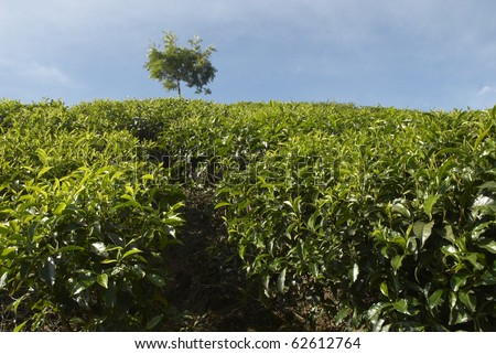 India, Kerala, Munnar, tea estates, mountain, plateau, tea leaves, tea collection, tea picker, a worker, the Indians, labor