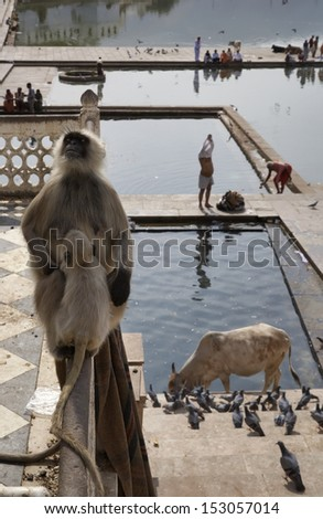 India, Rajasthan, Pushkar, an indian monkey looks at the pilgrims take a bath in the sacred lake