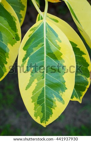 India rubber yellow and green leaves (Ficus elastica). - stock photo