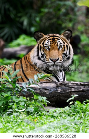 Indian Bengal Tiger head looking direct to camera