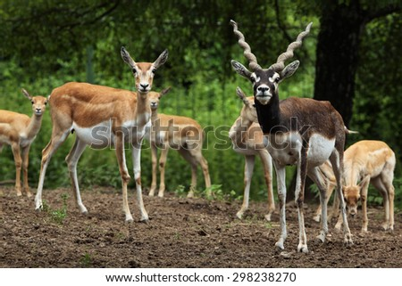 Indian blackbuck (Antilope cervicapra). Wildlife animal.  - stock photo