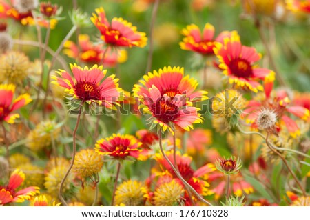 Indian blanket wildflowers. - stock photo