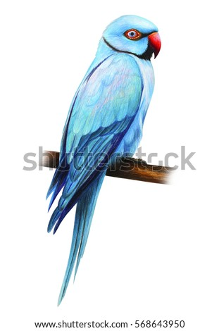 D G Parrott  Blue Drawing Parrot St...