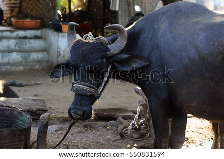 indian buffalo, black cow