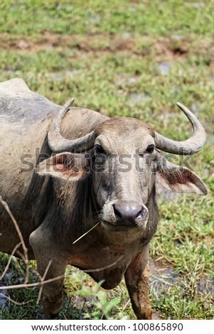 Indian buffalo near Palolem beach, Goa, India. - stock photo