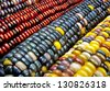 Indian Corn:  Variegated maize ears display a variety of decorative colors. - stock photo