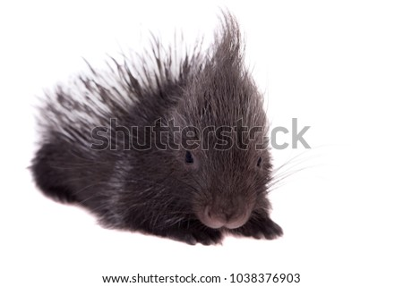 Indian crested Porcupine baby on white