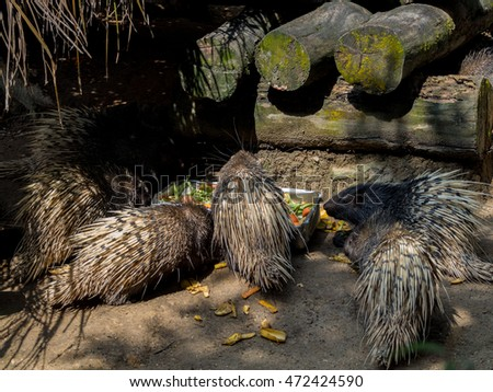 Indian Crested Porcupine feeding close up, rodent in captivity