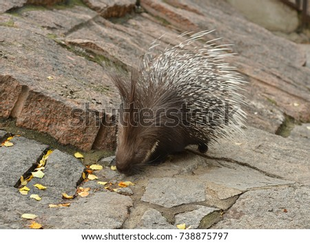 Indian crested porcupine (Hystrix indica), or Indian porcupine in autumn