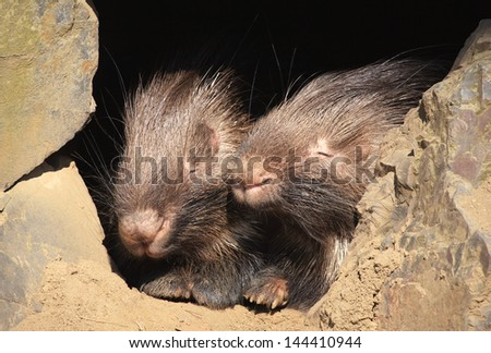 Indian crested porcupine. Sort : Hystrix indica - stock photo