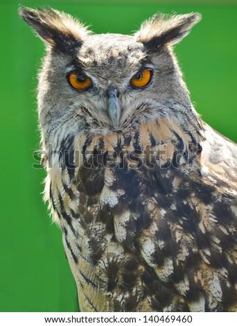 Indian Eagle Owl - stock photo